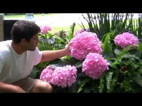 *Hydrangea Bush Shrubs* +Hummingbird,Butterflies, Bees+2017+