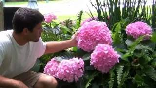 **Hydrangea Bushes/Shrubs**  ++  Attract Hummingbird, Butterflies, Bees ++