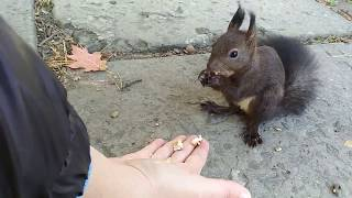 Дикая белка ест орехи с рук