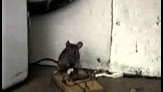 Rato VS Ratoeira