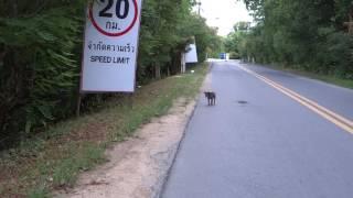 Дикие собаки Динго...в Паттайе