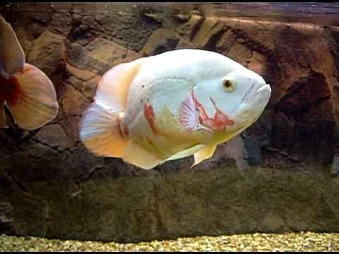 Big Albino Oscar Fish Feeding