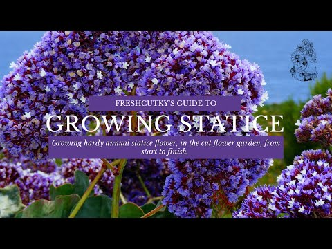 GROWING STATICE: Easy to Grow HARDY ANNUAL Flowers for the Cut Flower Garden