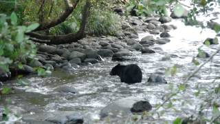 Black Bear Fishing (watch in HD for a nice clear video)