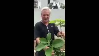 Grafting Avocado Trees - How to Graft an Avocado Tree.  English Captions