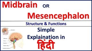 Midbrain or Mesencephalon - Structure and Function in Hindi | Bhushan Science