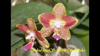 """Возвращение. Признание. Анонс. Моя орхидея P. Chiada Nina  """"Peloriс"""""""