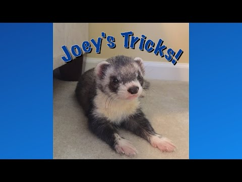 Joey the Trained Ferret's Tricks!