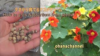 タネから育てるナスタチューム❢🌱How to grow Nasturtium from Seed🌱