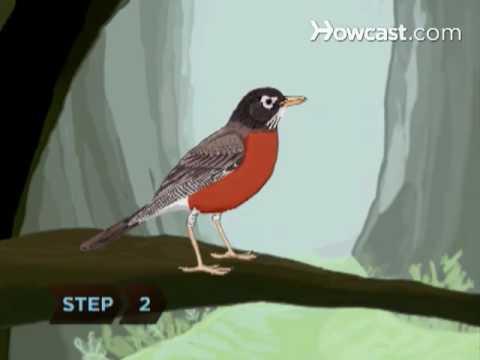 How To Identify Birds: American Robin