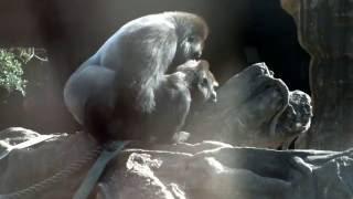 Copulation of gorilla.ゴリラの交尾。 Ueno Zoological Gardens.上野動...