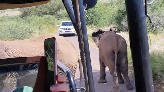 사우스 아프리카, 길 막는 코끼리