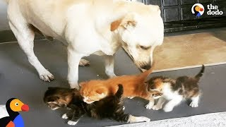 Abandoned Dog Helps Raise Kittens and Other Baby Animals | The Dodo thumbnail