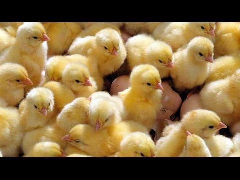 Поилка для цыплят своими руками быстро