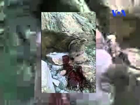 دادگاه و حکم متهمان سه فقره قتل خرس های سمیرم