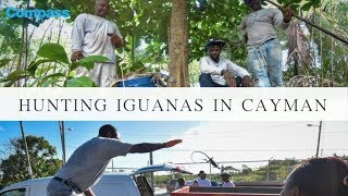 The green iguana gold rush