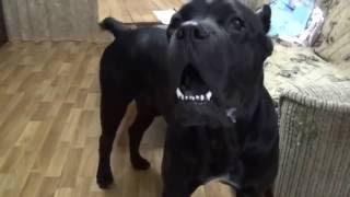 Cane Corso dog and slippers (собака Кане Корсо  и тапки)
