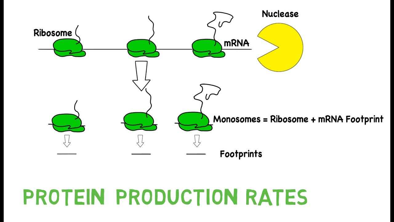 Ribosome footprinting youtube ribosome footprinting pooptronica