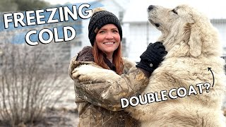 How cold is too cold for Great Pyrenees dogs outside? / Livestock Guardian Dogs