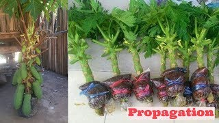 papaya air layering propagation video using cocopeat 100%