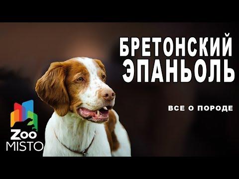 Бретонский эпаньоль - Все о породе собаки | Собака породы бретонский эпаньоль