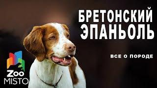 Бретонский эпаньоль - Все о породе собаки   Собака породы бретонский эпаньоль