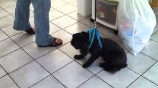 Shadow The Stubborn Shih Tzu