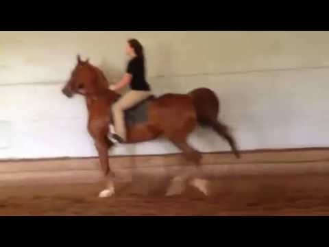 Saddlebred horse (for sale) Callaway's...