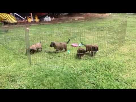 Briard puppies at 4 weeks of age