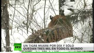 Rusia acoge la Cumbre del Tigre enfocada a la conservación de este animal
