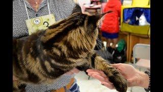 В Омске на выставке показали котёнка весом 9 кг и китайскую Клеопатру