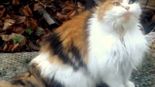 Hungry Fat Cat. Fluffy Cat beautiful lazy and funny fat cat [Fluffy cat fat funny] new compilation