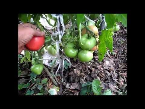 Сорт помидоров АБАКАНСКИЙ РОЗОВЫЙ