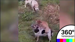 В Подмосковье сбежавшая пума напала на домашнюю собаку