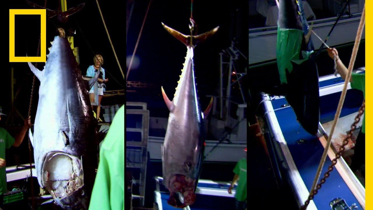 سمكة التونة العنيدة: نقطة الانكسار | ناشونال جيوغرافيك أبوظبي
