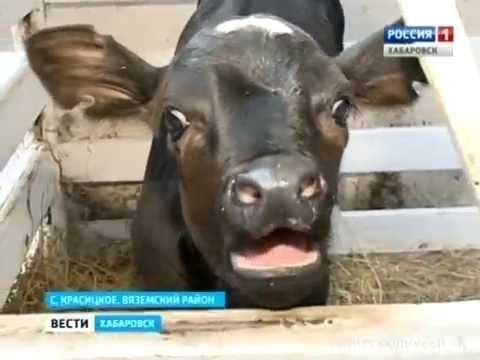 Вести-Хабаровск. Мегаферма в предбанкротном состоянии