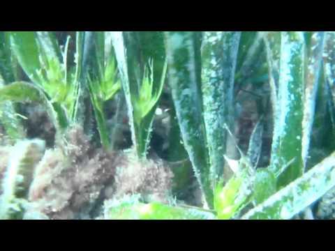Flor de Posidonia oceanica