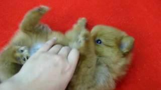 Cute Pomeranian Puppy In Chatuchak Market, Bangkok
