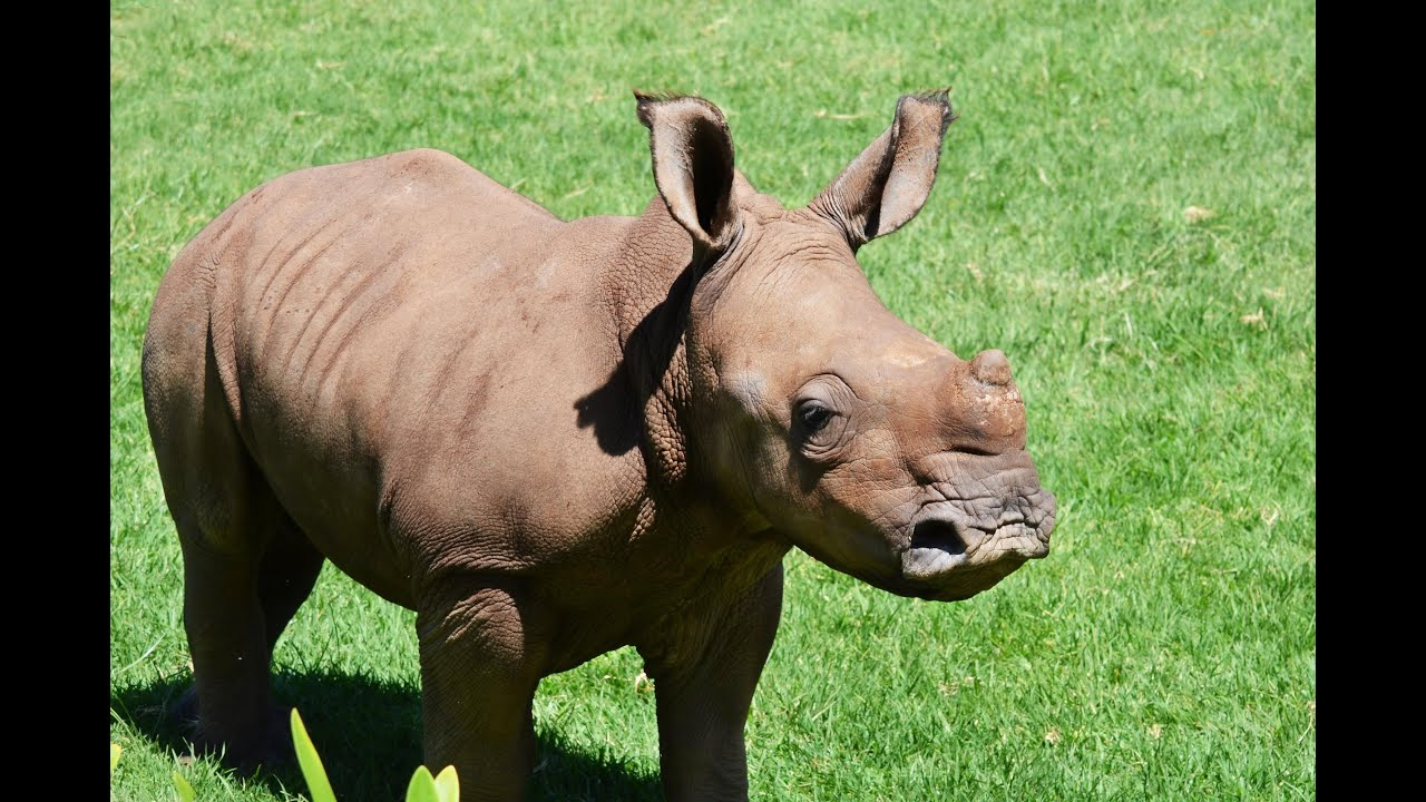 New Lease On Life orphan rhinos at play, given a new lease on life. - youtube