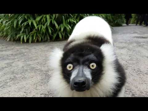 Black and white ruffed lemurs alarm call