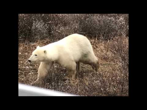 Churchill, Manitoba:  Polar Bear Adventure with Frontiers North
