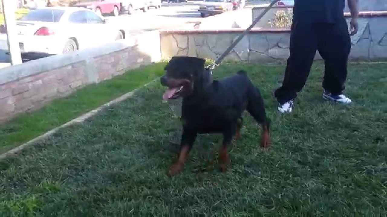 Doja From San Joses Finest Rottweilers Youtube