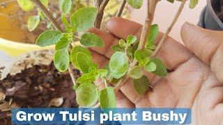 How to grow Tulsi plant Bushy, Grow Tulsi plant fast and easy