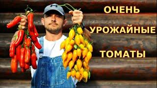 Самые УРОЖАЙНЫЕ сорта ТОМАТОВ в этом году. Томаты Золотая канарейка, Казанова.