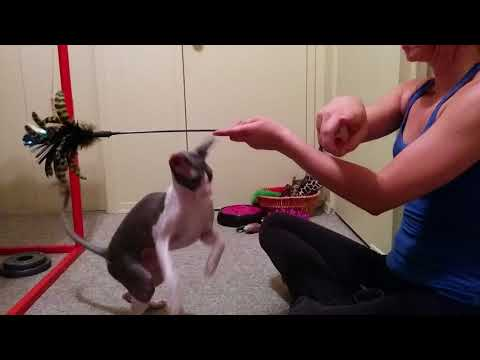 Cornish Rex cat doing some awesome TRICKS : jump, sit, kiss, turn & more
