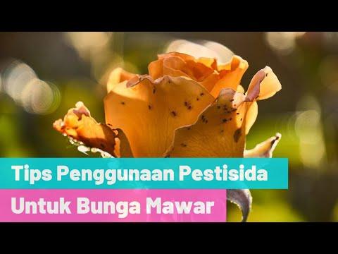 Tips Antisipasi Hama Pada Bunga Mawar Dalam Pot