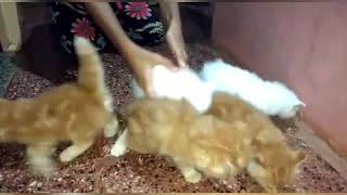 Persian Cats Kittens For Sale In India 9350926445
