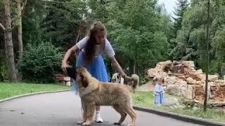 Щенок кобель Граф ждёт владельцев ! Купить щенка кавказкой овчарки