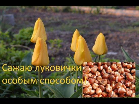 Тюльпаны.  Секретик осенней посадки луковиц тюльпанов!