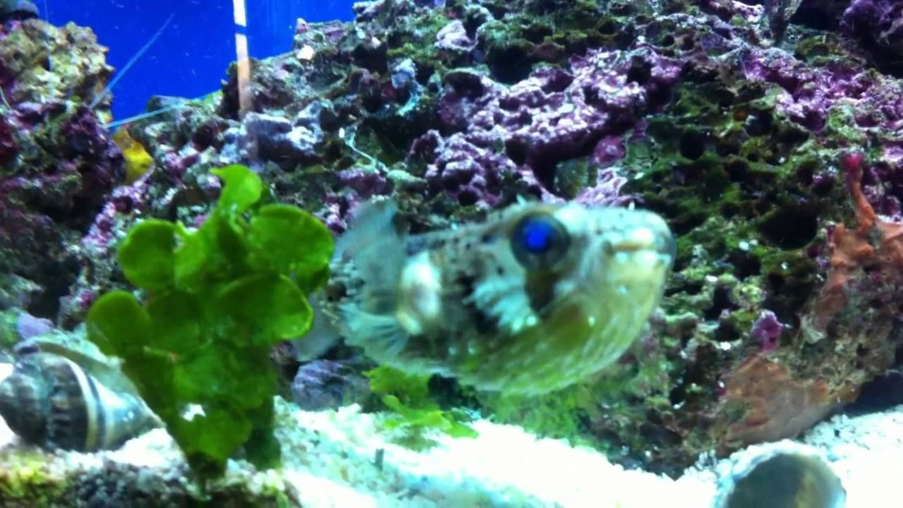 Fish aquarium edmonton - Porcupine Puffer Expanded